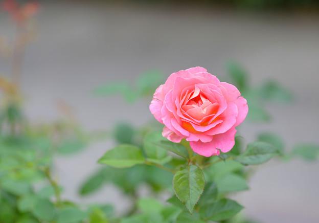 秋の薔薇~♪