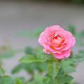 Photos: 秋の薔薇~♪