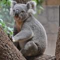 写真: 東山動植物園 コアラ~♪