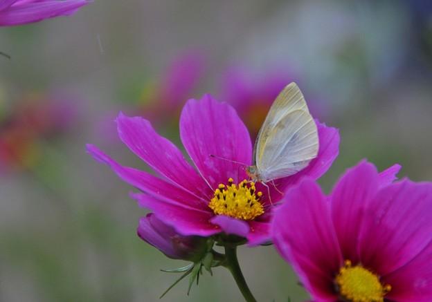 秋桜と蝶~♪