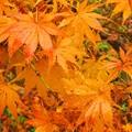 オレンジ色の紅葉~♪