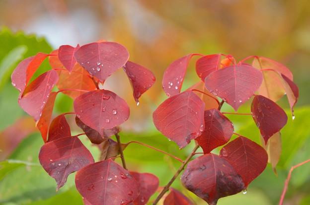 南京櫨の紅葉?~♪