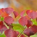 写真: 南京櫨の紅葉?~♪