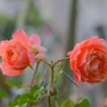 冬に咲く薔薇~♪