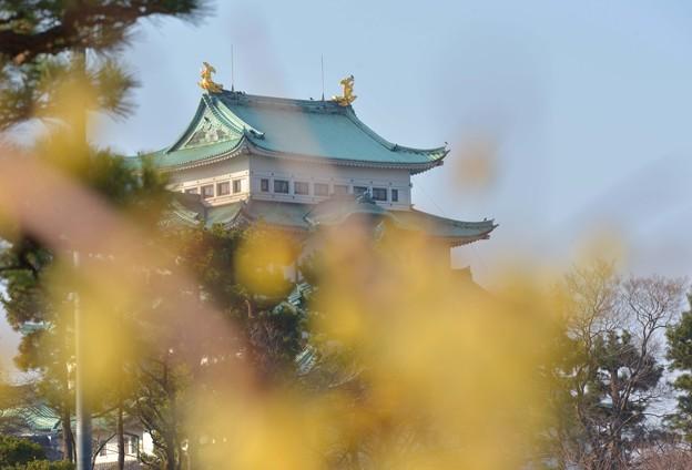 素心蝋梅と 名古屋城~♪
