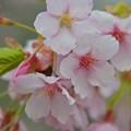 修善寺桜~♪