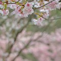 大寒桜と河津桜~♪