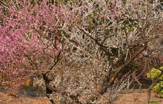 東山動植物園の梅~♪
