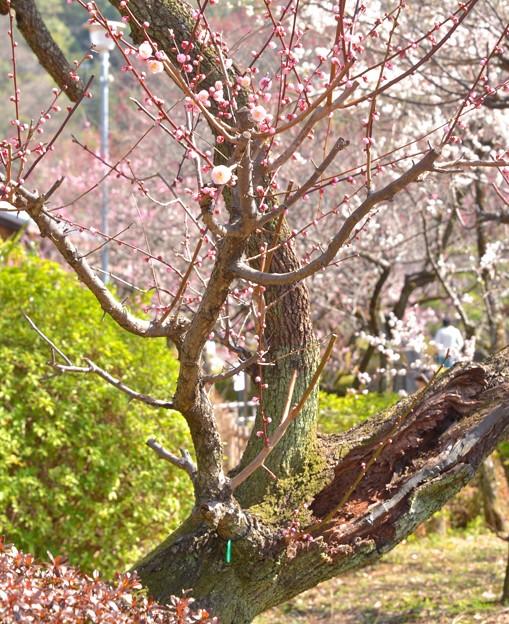 がんばる梅の木