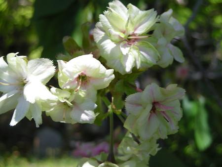 '08-04-20 今年見た桜