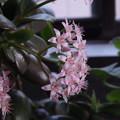 写真: 金のなる木 かわいいお花