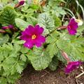 写真: 我が家の花壇で