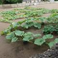 写真: 隣の畑のかぼちゃさん