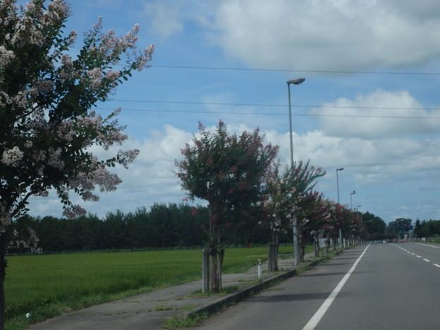 車窓から 百日紅のある道