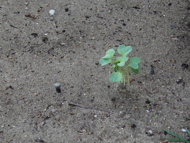 大根の芽が出てきましたよ