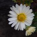 かわいい小菊
