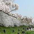 写真: 桜満開
