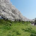 写真: 桜堤