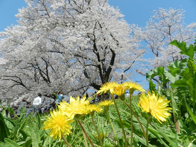 桜堤のタンポポ