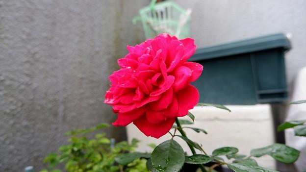 真っ赤なバラ