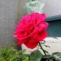 Photos: 真っ赤なバラ