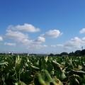 Photos: 里芋畑