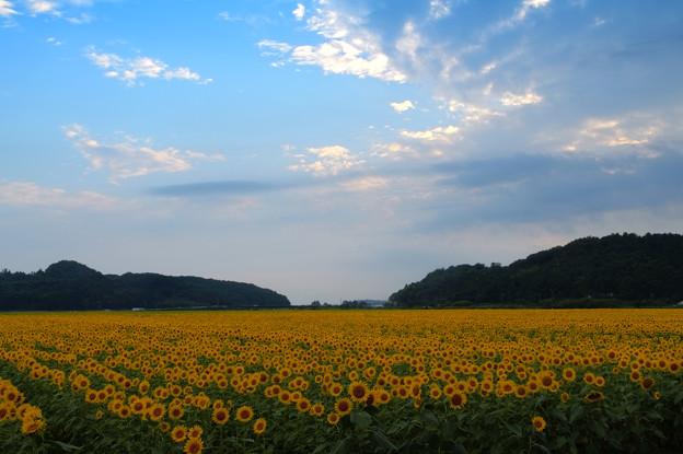 Photos: himawari