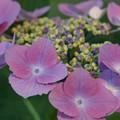 写真: 紫陽花01