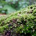 写真: 苔の幼芽
