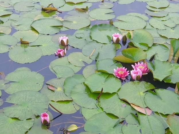 いもり池の蓮
