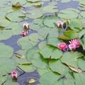 写真: いもり池の蓮