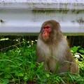 志賀高原のお猿