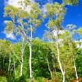 写真: 一沼の白樺