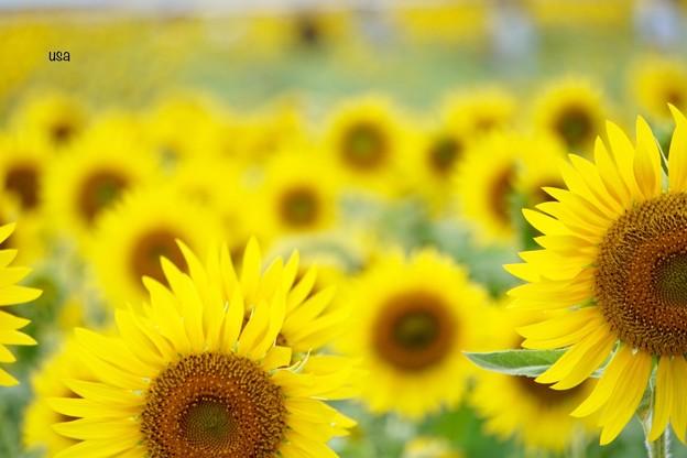 向日葵、ひまわり、ひまわり、、、
