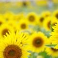 Photos: 向日葵、ひまわり、ひまわり、、、