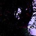 写真: 秋のヒメボタル