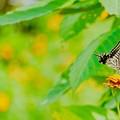 写真: キバナコスモスよりもこっちのお花