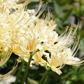 Photos: 彼岸花に、想いを託して