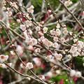 Photos: 春よ来い、早く来い