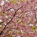 Photos: 桜空
