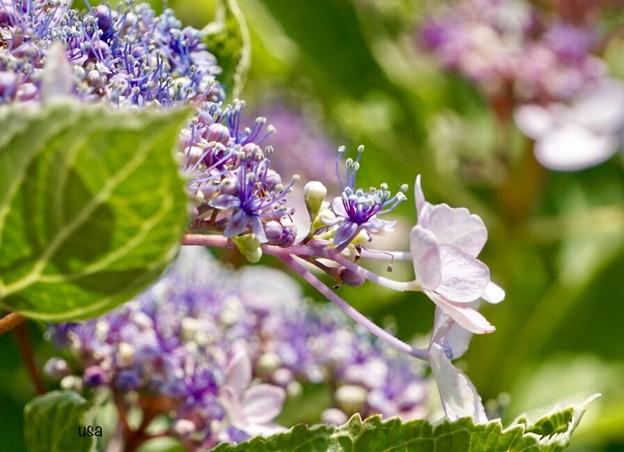 咲き始めた紫陽花