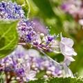 Photos: 咲き始めた紫陽花