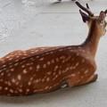 Photos: 鹿模様