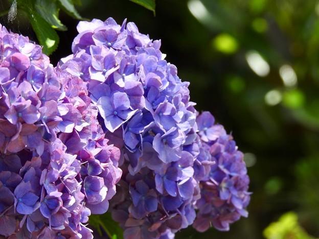 紫陽花の横顔