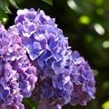 Photos: 紫陽花の横顔