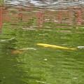 Photos: 金運鯉