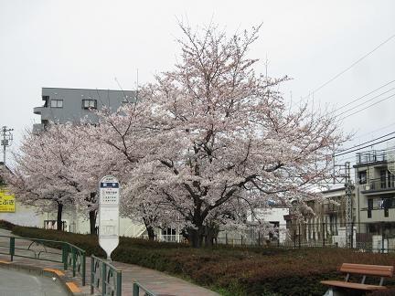 南平バス停前の桜2