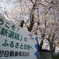 Photos: 看板と桜