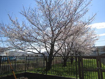 石田寺裏の桜1