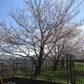 Photos: 石田寺裏の桜1
